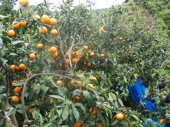 P5030023収穫を待つカラマン3.JPG