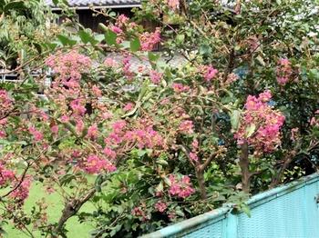 P8300892サルスベリの花.jpg